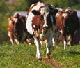 Cow-path-Michigan-CRM-consultant